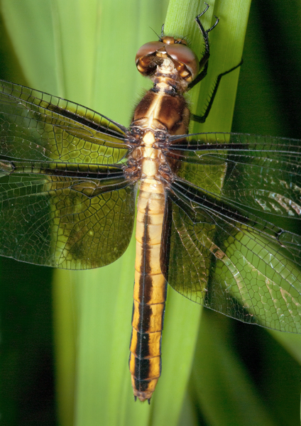 widow-skimmer-st-lawrence-countysird-32_